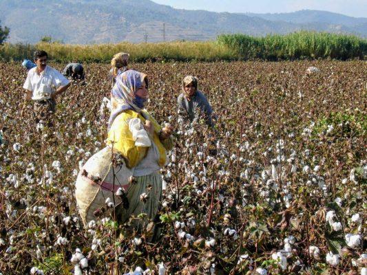 Katoen plukken op de plantage